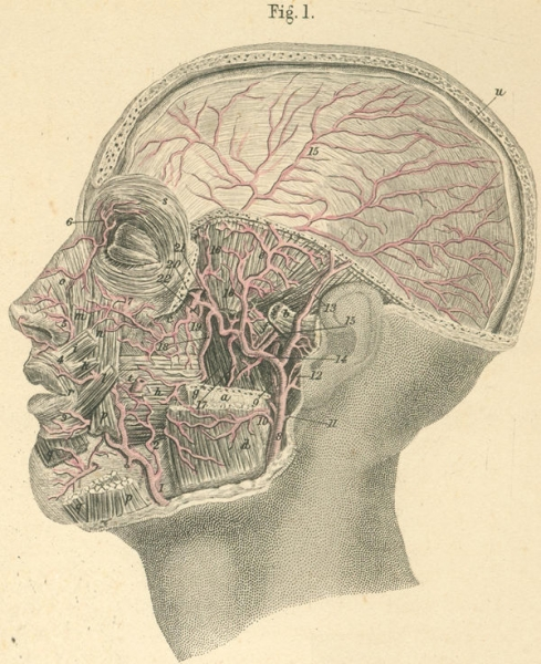 http://www.laurie-dallava.com/files/gimgs/11_area-of-supply-of-the-maxillary-artery--.jpg