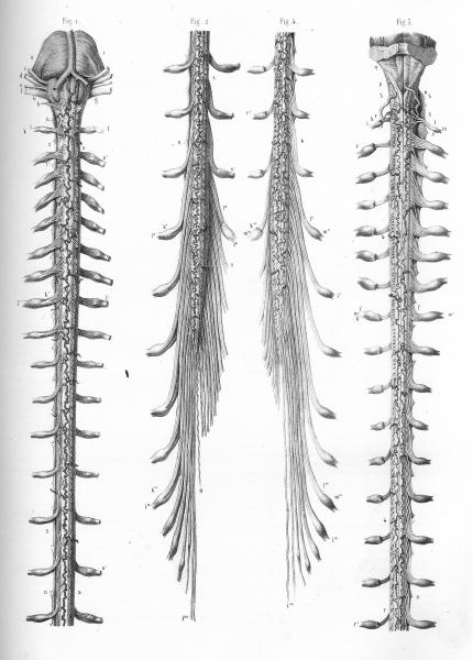 http://www.laurie-dallava.com/files/gimgs/11_schema-du-tronc-cerebral-de-la-moelle-epiniere-sectionnee-et-des-racines-nerveuses-faces-anterieure-et-posterieure.jpg